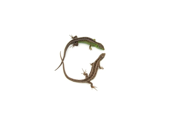 Zielone i brązowe jaszczurki zwisające na białym tle