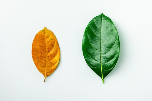 Zielone i brązowe suche liście na białym tle