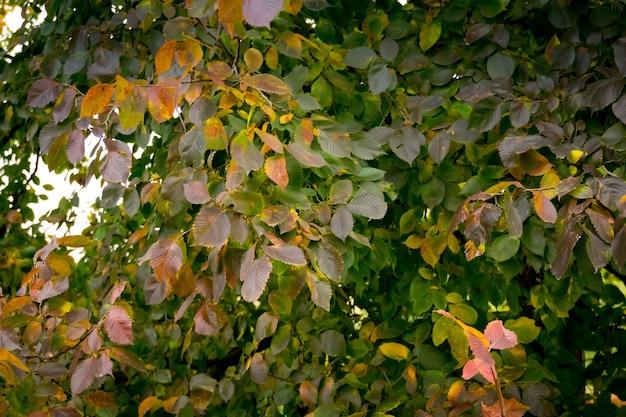 Zielone i pomarańczowe liście na drzewie wczesną jesienią.