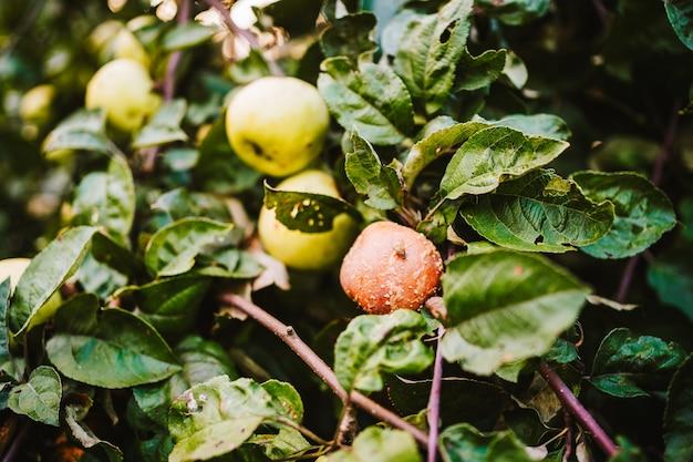 Zielone i zgniłe jabłko na gałęzi. zdjęcie wysokiej jakości