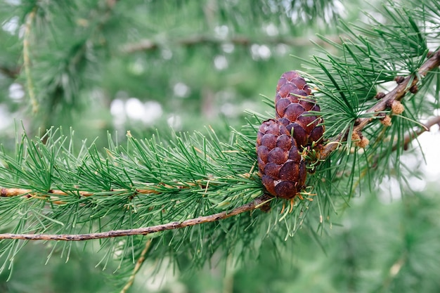 Zielone iglaste cedrowe szyszki sosny na gałęzi drzewa koncepcja zbioru i odbioru oleju