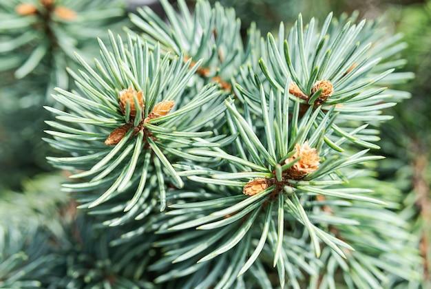 Zielone igły świerkowe na gałęzi z bliska naturalne tekstury i tła