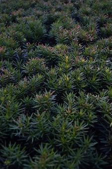 Zielone igły z krzaka rośliny iglastej na całym tle