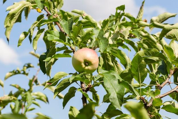 Zielone jabłka na drzewie rosnącym w sadzie. zdjęcie zrobione zbliżenie. mała głębia ostrości.