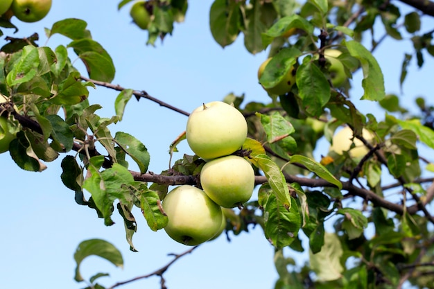 Zielone jabłka na drzewie rosnącym w sadzie. zdjęcie zrobione zbliżenie