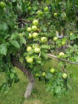 Zielone jabłka na gałęzi gotowe do zbioru, na zewnątrz, selektywne focus.