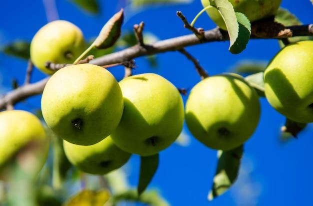 Zielone jabłka na gałęzi jabłoni w garden.nature