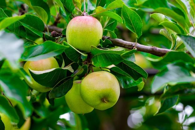 Zielone jabłka na zbliżenie gałęzi jabłoni.