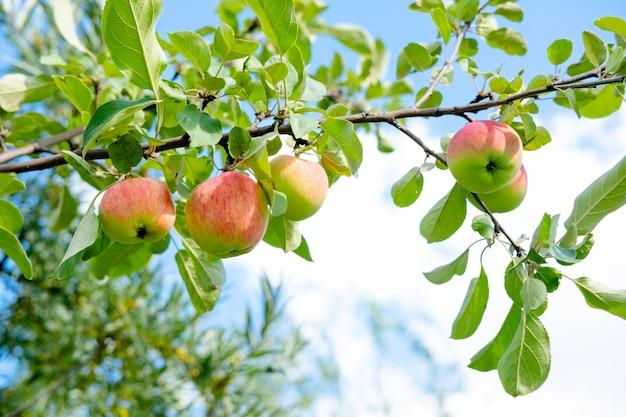 Zielone jabłka ogrodowe na drzewie. zdrowe, naturalne, młode jabłka. tło z jabłek i liści