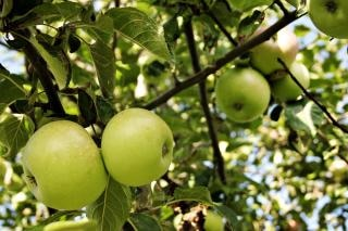 Zielone jabłka, owoce