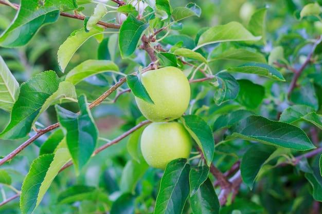 Zielone jabłka rosną w ogrodzie na gałęzi.