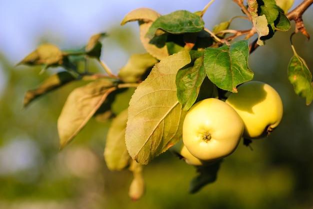 Zielone jabłka z liśćmi na gałęzi