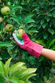 Zielone jabłko na gałęzi drzewa