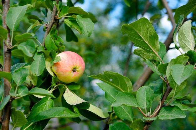 Zielone jabłko ogrodowe na drzewie. zdrowe, naturalne, młode jabłka. tło z jabłek i liści
