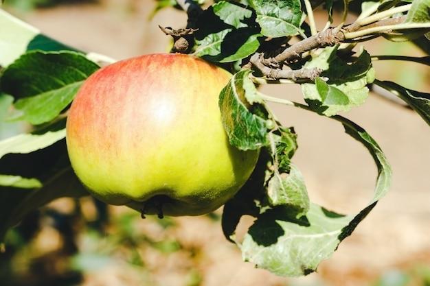Zielone jabłko wyhodowane na drzewie z rozmytym tłem