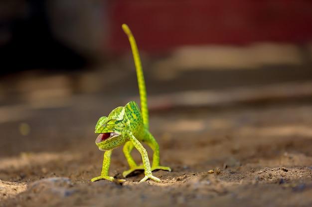 Zielone kameleon indie