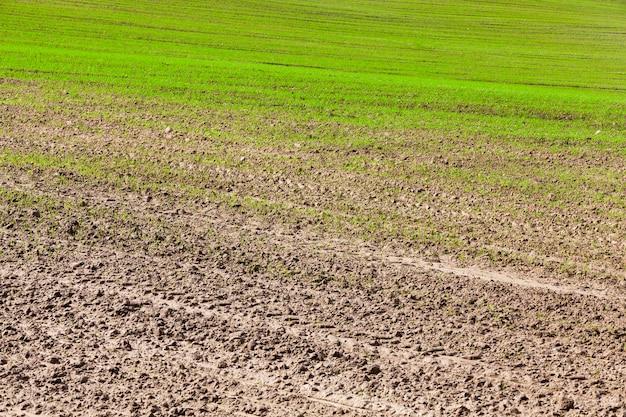 Zielone kiełki pszenicy na polu w sezonie wiosennym