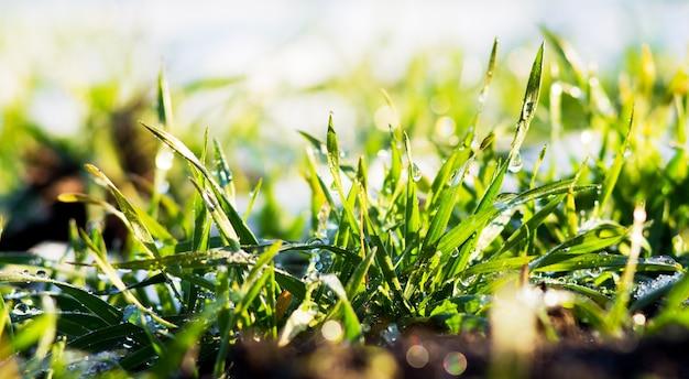 Zielone kiełki pszenicy ozimej pod śniegiem w słoneczną pogodę