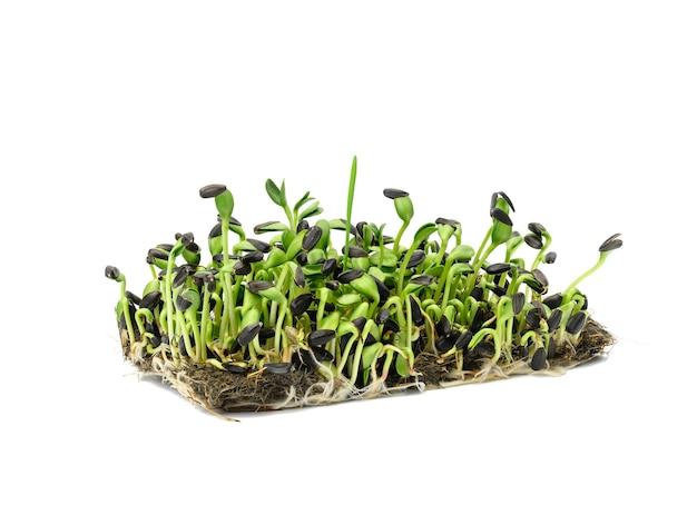 Zielone kiełki słonecznika na białej powierzchni, przydatne microgreen, z bliska