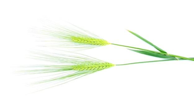 Zielone kłoski jęczmienia na białym tle