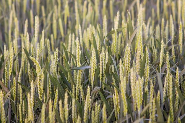 Zielone kłosy elitarnej pszenicy. wzór zielonych uszu do projektowania