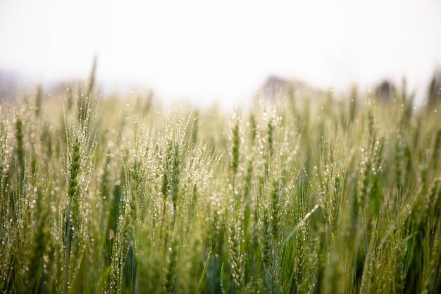 Zielone kłosy jęczmienia z kroplami wody po rozpyleniu systemu wodnego z bliska na polu rolniczym. zielony kłos jęczmienia z kroplami rosy.