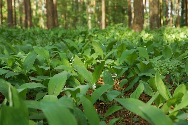 Zielone konwalie polne w lesie, oświetlone słońcem