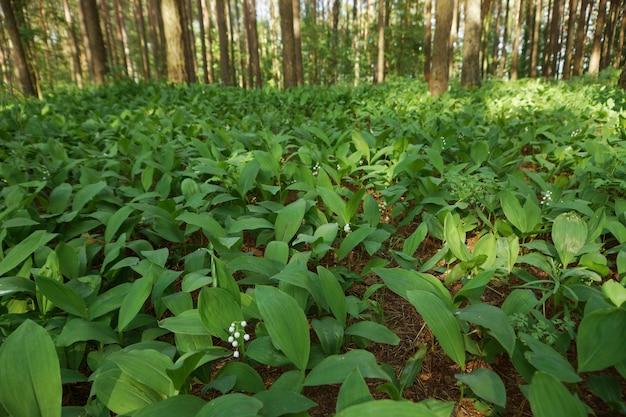 Zielone konwalie w lesie, pnie drzew i bokeh w tle
