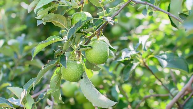 Zielone kwaśne jabłka na gałęzi jabłoni w ogrodzie