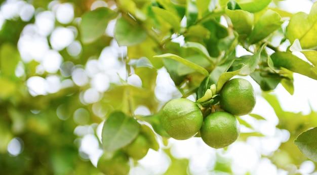 Zielone limonki na zbliżenie drzewa