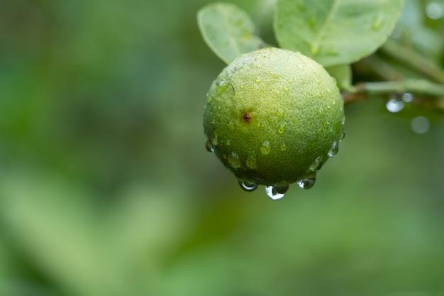 Zielone lipy w ogrodzie. zielone limonki są doskonałym źródłem witaminy c.