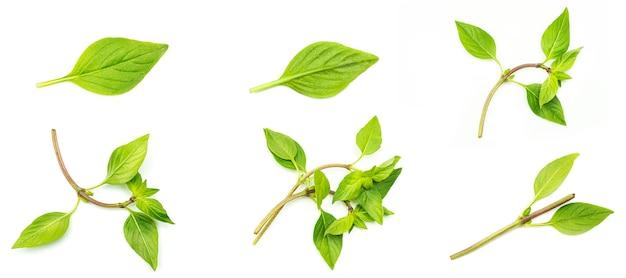Zielone liście bazylii na białym tle