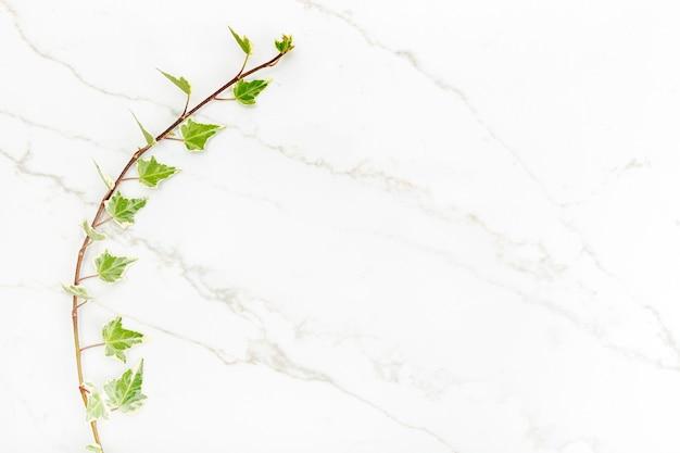 Zielone liście bluszczu na tle białego marmuru. naturalne tło. leżał na płasko. skopiuj miejsce