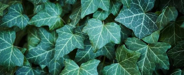 Zielone liście bluszczu
