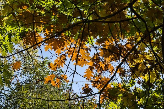 Zielone liście dębu, wśród których pojawiają się pierwsze jesienne liście koloru pomarańczowego, zbliżenie prawdziwego żywego drzewa w sezonie jesiennym