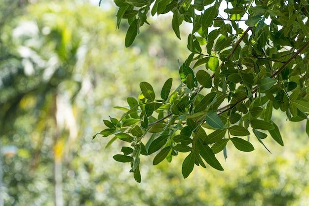 Zielone liście drzew w brazylijskim parku. słoneczny dzień. pod światło.