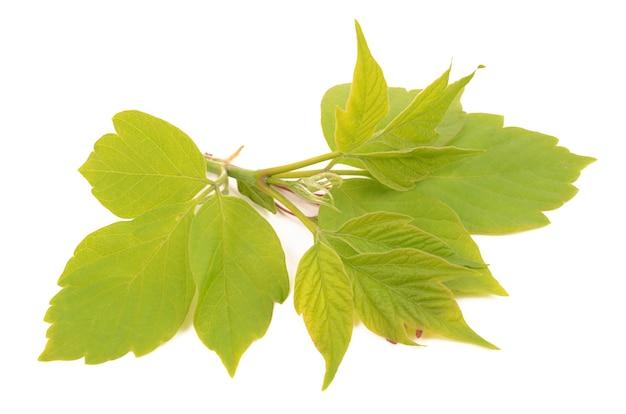 Zielone liście drzewa