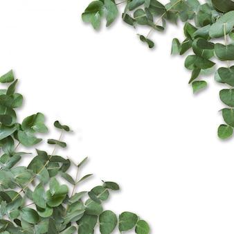 Zielone liście eukaliptusa i gałęzie na białym tle