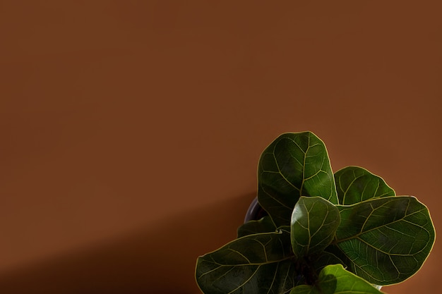 Zielone liście figowca lub ficus lyrata skrzypce drzewo figowe popularne ozdobne tropikalny dom...