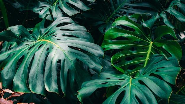 Zielone liście filodendronu monstera, rośliny rosnące w ogrodzie botanicznym, tropikalne rośliny leśne, wiecznie zielone winorośle abstrakcyjne.