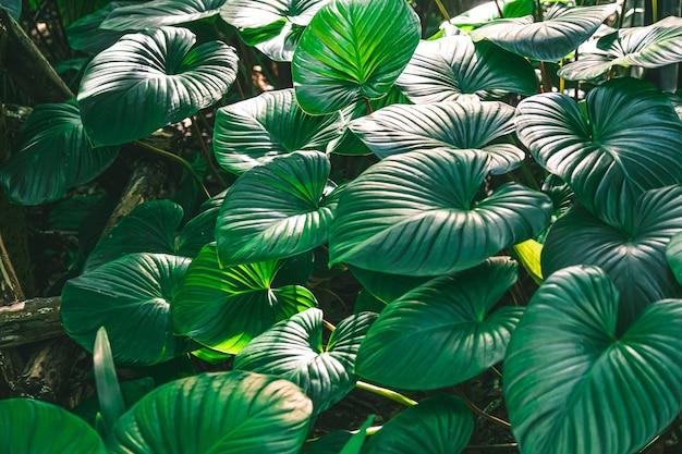 Zielone liście homalomena rubescens roxb