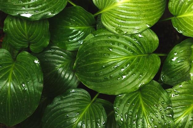 Zielone liście hosty latem po koncepcji zielonego życia w deszczu