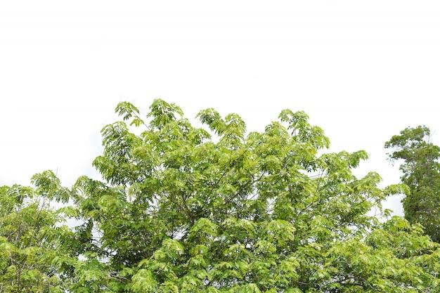 Zielone liście i gałęzie drzewa na białym tle dekoracji roślin w ogrodach
