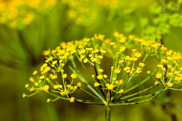 Zielone liście i koperek parasolowy rosnący na polach uprawnych