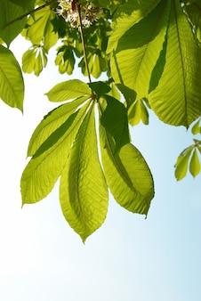 Zielone liście kasztanowca z słonecznym błękitnym niebem.