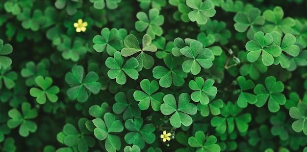 Zielone liście koniczyny. długi poziomy baner