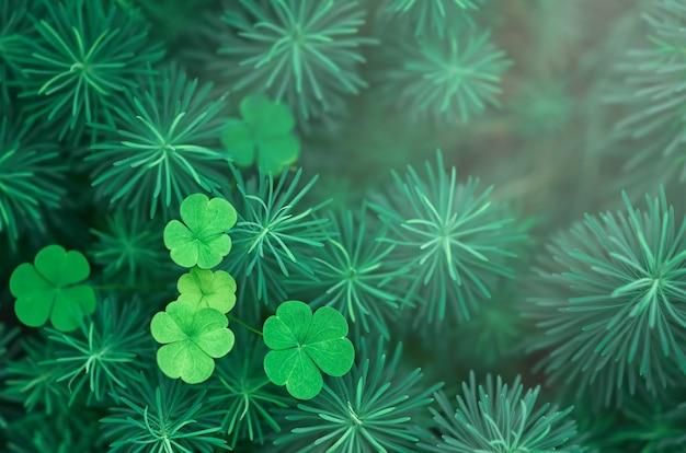 Zielone liście koniczyny wśród puszystej trawy