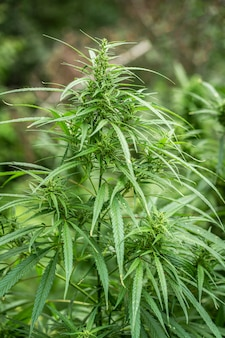 Zielone liście konopi, marihuany. dzika, nieuprawna roślina rośnie na vintage zioło narkotyczne. uprawa konopi jest prawnie zabroniona.