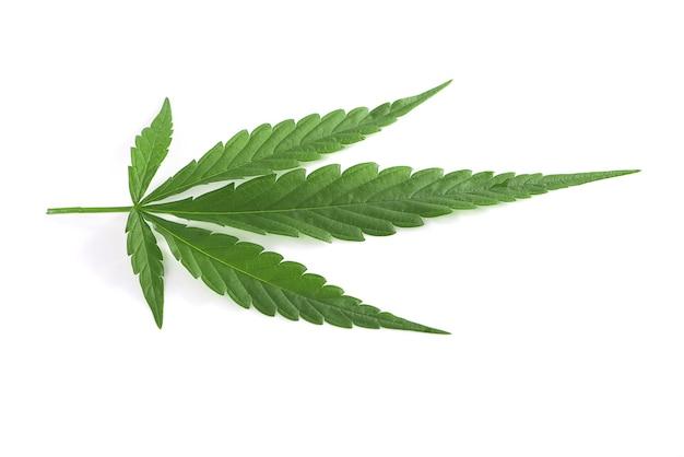 Zielone liście konopi na białym tle