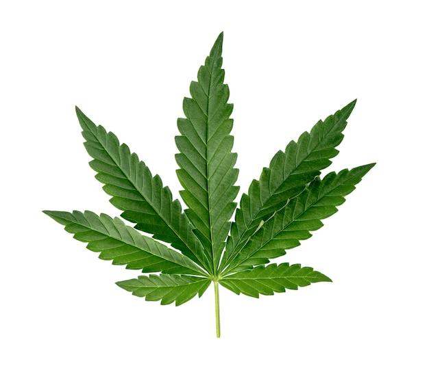 Zielone liście konopi na białym tle.